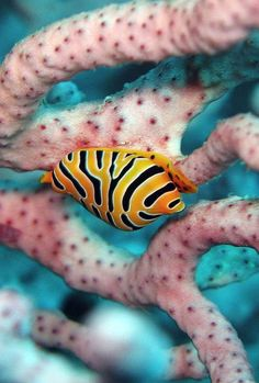 Tiger Egg Cowrie