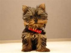 Yorkshire Puppies -