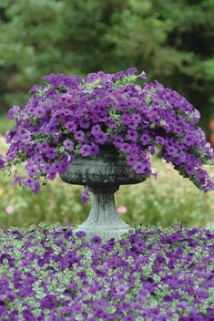 a container of purple wave petunias placed in a bed of petunias