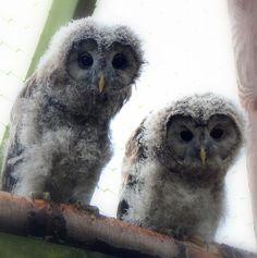 Baby Ural Owls Pinned by www.myowlbarn.com