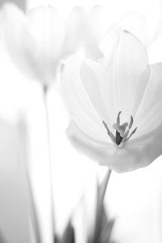 ♥ white flowers, tulips white, dreami white, black white