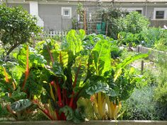 Swiss Chard in Community Garden Bed | bonnieplants.com