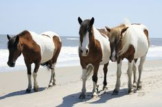 Wild ponies - We got to see them swim across the bay when young.  I was in love with Misty of Chincoteague in 5th grade.