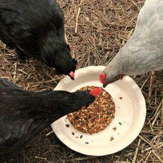 Homemade Flock Seed Block - A Warming Winter Treat to Beat Boredom - Fresh Eggs Daily Blog - GRIT Magazine