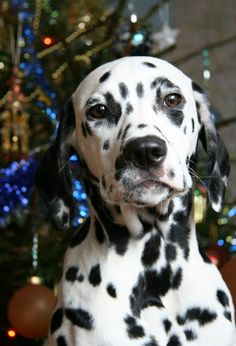 I miss my dalmation I used to have! -- Me too!