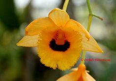 Dendrobium fimbriatum Hook. 1830, Flower Macro