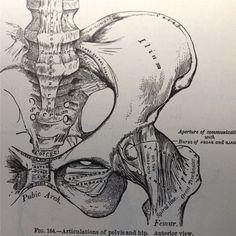Vintage anatomical drawing medical illustration , pelvis , hip skeleton book page , paper ephemera human anatomy.
