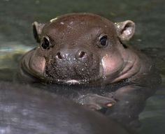^Cutest baby hippo
