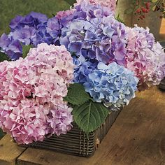 French Hydrangea: Cut Flowers