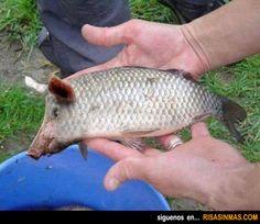 Animales curiosos: Cerdo - Pez.