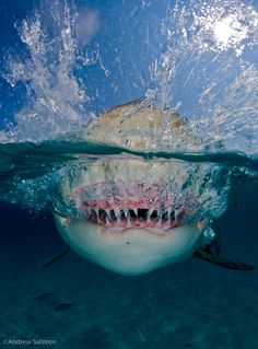 Awesome Picture of a Lemon Shark
