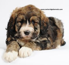 Awww, what a fluff! She is so cute she doesn't look real! dream dog, de chien, pet idea