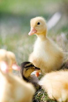 Spring ducklings...