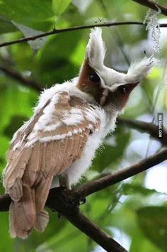 The Crested Owl gazing into your soul