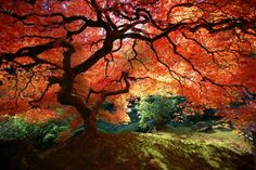Japanese Maple tree.