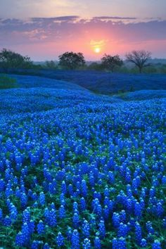 Bluebonnet Carpet - Ellis County, TX... Oh to watch the sunrise here!