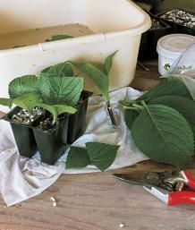 Propagate Your Shrubs from Softwood Cuttings   Fine Gardening