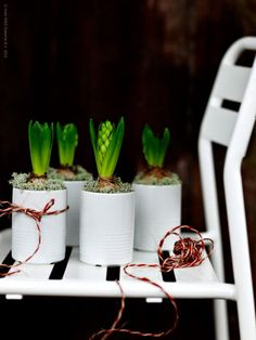 Bulbs! Reuse tin cans with hyacinths