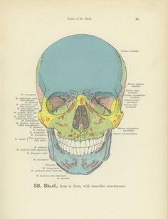Vintage Skull Print Medical Skeleton Bones by MarcadeVintagePrints, £18.50