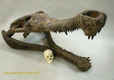 """Sarcosuchus Imperator. """"Supercroc"""" skull replica."""