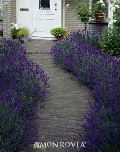 Hidcote Blue English Lavender  Lavandula angustifolia 'Hidcote Blue'  Full sun  Water Needs:Once established, needs only occasional watering.  Average landscape size:Moderate grower to 2 to 3 ft. tall and wide.