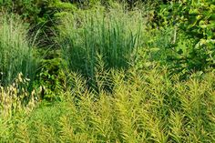 Amsonia 'tabernaemontana' and Panicum (Switch Grass) 'Northwind'  -Plant combos : An Obsessive Neurotic Gardener