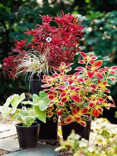 Try Contrasting Containers  If you're not sure where to start, look at your container and complement or contrast it with color. Here, the black pots look great against bold, bright colors.  A. Coleus (Solenostemon 'Daffy') -- 1  B. Sedge (Carex hachijoensis) -- 1  C. Caladium 'Florida Beauty' -- 1  D. Coleus (Solenostemon 'JoDonna') -- 1