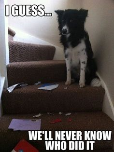 funny animals, border collies, funny dogs, funny pictures, unsolved mysteries, funni, hous, dog memes, eye