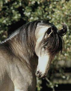 ☀lusitano stallion