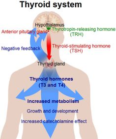 Metabolism and the Thyroid  I was diagnosed with thyroid cancer in 2001, had a complete thyroidectomy, ablation, radiation and chemotherapy.  This is a great article.