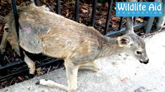 Trapped Fawn Gets Reunited With Her Mum!