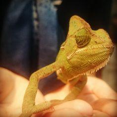From laplinp on Instagram: Tripod, the three legged, super photogenic chameleon! #su2014 #nhm #tangled #pascal #cute #reptile