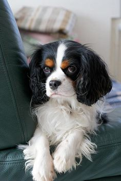 Chip the Cavalier King Charles Spaniel