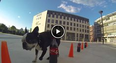 Fun Boston Terrier Slalom between Orange Cones and Coca-Cola! Watch ► http://www.bterrier.com/?p=25676 - https://www.facebook.com/bterrierdogs