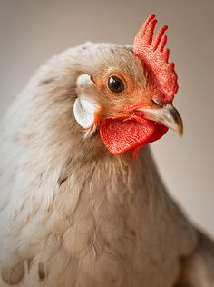 A fun way to liven up your home decor are with these chicken glamour shots by photographer, Clay Walker.