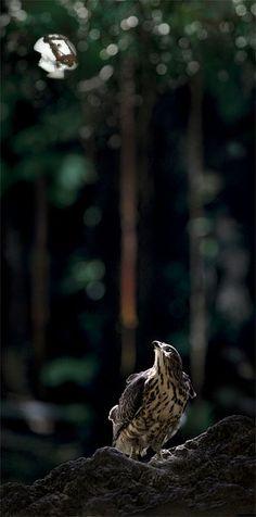 ♥ Hawk #BirdsofPrey #BirdofPrey #Bird of Prey