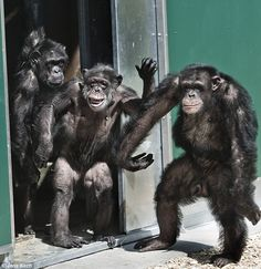 Chimps caged for 30 years and injected with HIV in cruel experiments finally feel the sun on their faces again
