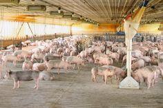 Farm Friday Update - Feeder Pigs