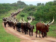 Ankole Cattle - Wow