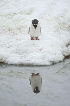 awww, bird, anim, winter, creatur, natur, penguins, reflect, thing