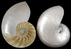Pearl Nautilus shell center cut