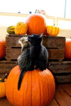 Autumn kitty adorableness. #fall #Halloween #pumpkins #cats #kittens