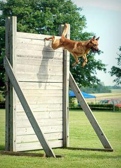 Jumping Belgian Malinois