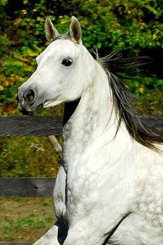 Arabian Mare - a beauty