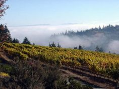 Russian River fog, this is what makes western Sonoma County so great for growing grapes, warm days, cool nights.