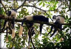 Black-and-white colobus at Lango Camp