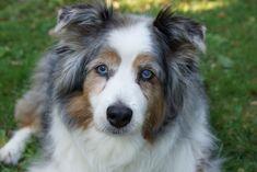 Photo by D. Rubin /   My Australian Shepherd Cody: Older and wiser- 16 years-old