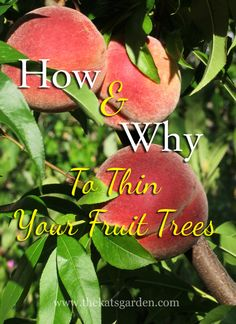 how and why to thin your fruit trees