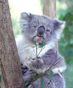 Fotos en movimiento de Koalas.