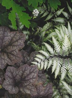 perrenial gardens for Iowa | Plant Combinations - Des Moines Iowa landscaping - Perennial Gardens  Coral Bells and Japanese Painted Fern
